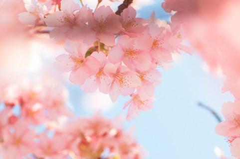 桜a1380_001680